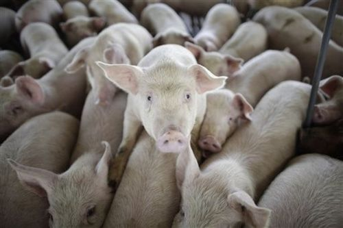 Grangas carroll pigs