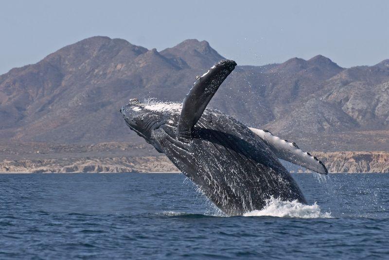 Cabo pulmo greenpeace whale handout