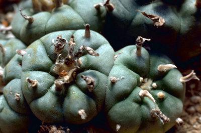 800pxpeyote_cactus
